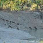 Kangaroos drinking at the Darling River