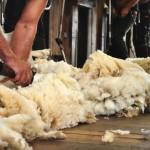 Shearing-(3)