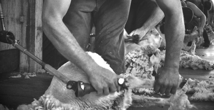Shearing-thumbnail