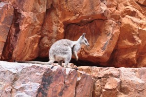Rock wallaby Ormiston Gorge