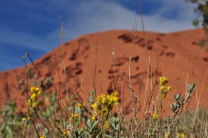 wildflowers at Uluru
