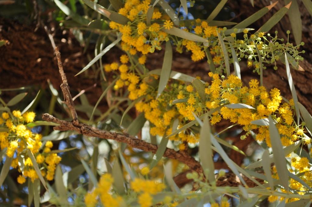 Wattle - outback wattle smells like popcorn