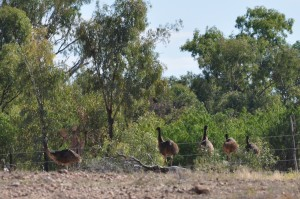 Emus by the Barcoo