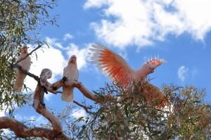 Major Mitchell cockatoos