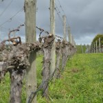 Grape vines, a famililar site in the Adelaide Hills