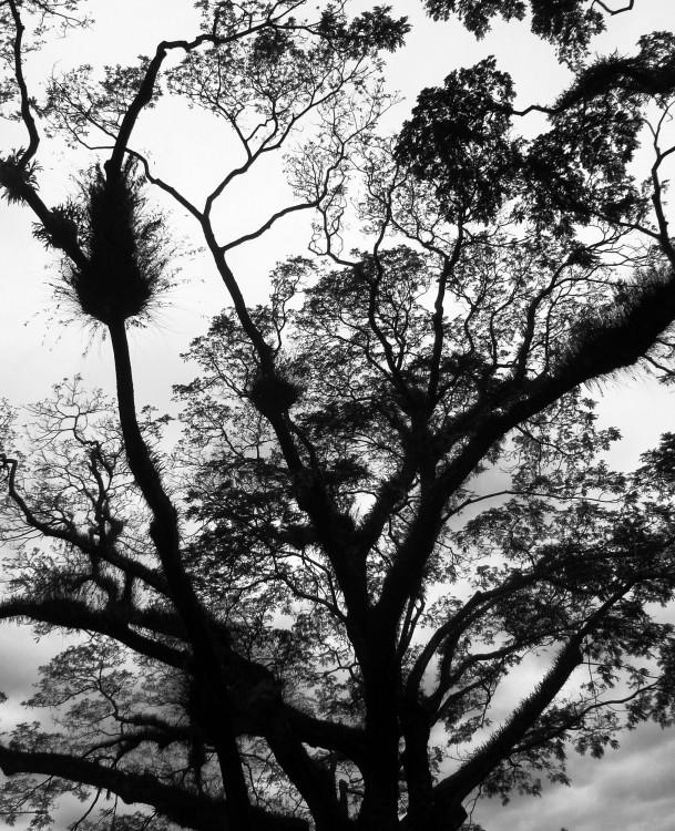 Mossman---trees