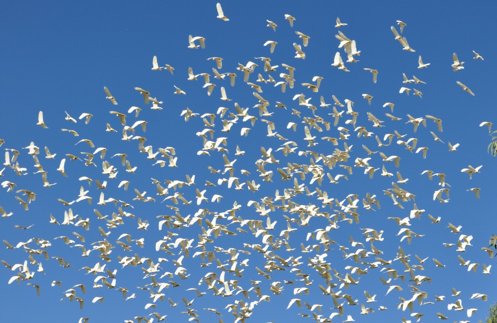 WHITE - huge flock of corellas in the clear blue sky