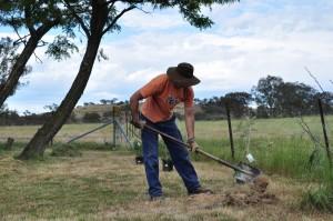 Planting grevillea