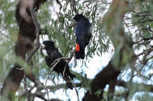Red tailed black cockatoos at Wilcannia