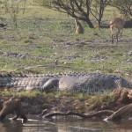Crocodile-&-roos