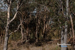 Afternoon sunlight through the gum-trees