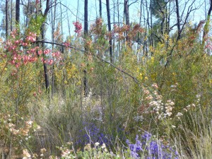 Spring time in Pillaga State Forest