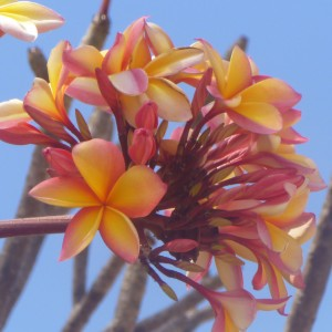 Frangipani - Thursday Island, Torres Strait