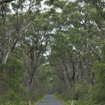 Driving through the eucalypt forest