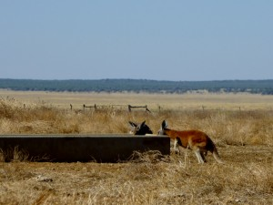 Lunch kangaroos Winton-Jundah (2)