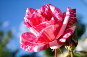 Rose Jundah