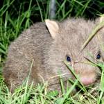 Orphaned baby wombat Bendeela
