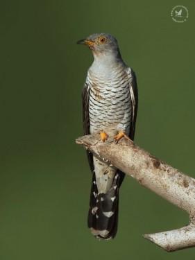 Eurasian-Cuckoo-Mital-Patel-525x700