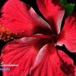 Sawtell-flowers-(9)