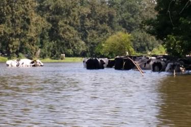 Swimming-cows-web