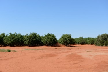 Almond trees growing out of red, red dirt