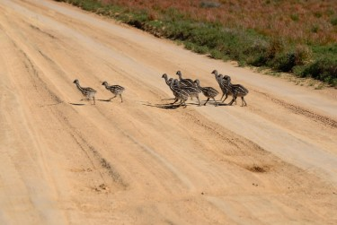 11 emu chicks crossing the road