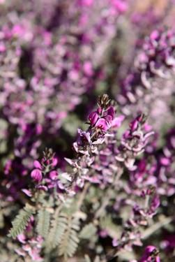 Australian desert wildflowers