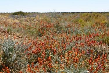 wildflowers Birdsville Track_07