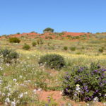 Stunning array of wildflowers on the red sand dunes near Innamincka in outback South Australia