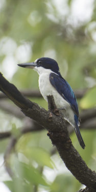 Blue kookaburra Charles Darwin National Park