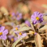 Simpson wildflowers