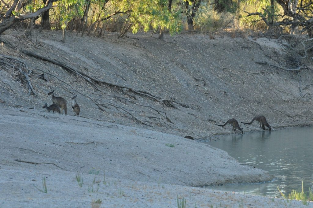 Kangaroos drinking from the Darling River