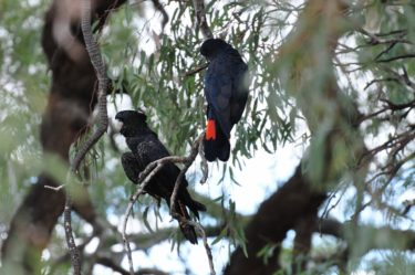 Red tailed black cockatoos in the gum tree by the Darling River at Wilcannia