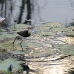 Jesus Bird walking on lily pads on Yellow Waters Billabong in Kakadu