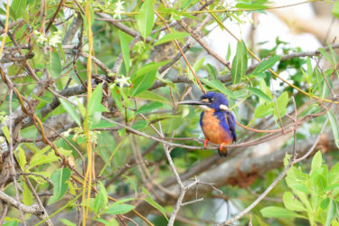 Azure Kingfisher in Kakadu