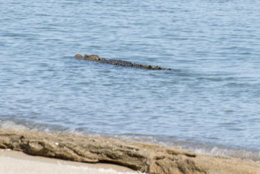 3.5m crocodile swimming past our campsite
